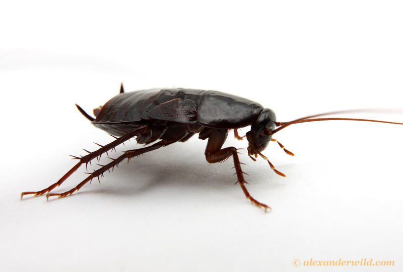 kackerlackor