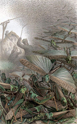 vandringsgräshoppa