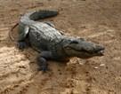 krokodil-i-gaza