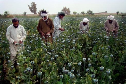 I Afghanistan har försöken att få bukt med landets droghandeln stött på motvind. Kärva ekonomiska tider för att jordbrukarna vänder sig till det som är mest lönsamt, nämligen vallmoodlingar. Vallmoblomman används för att tillverka droger som opium och heroin.