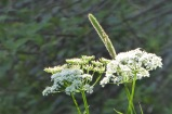 hundloka gräs