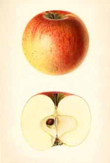Rambo äpple